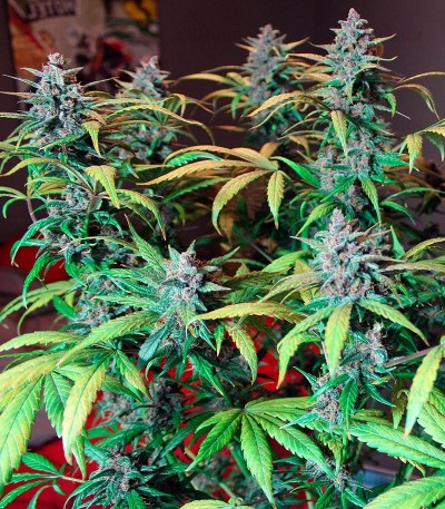 LSD-25 auto fem сорт марихуаны