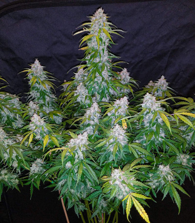 Six Shooter auto fem (FastBuds) семена конопли