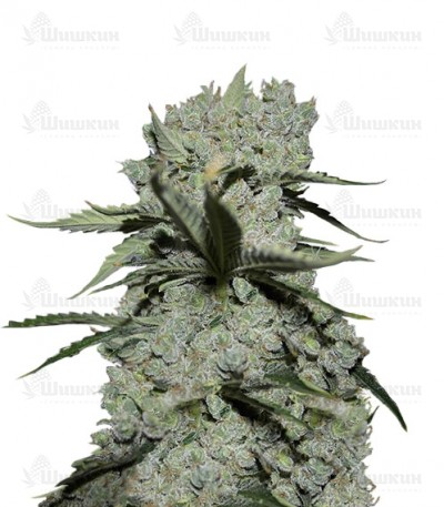 Купить семена марихуаны Critical Kush шишки