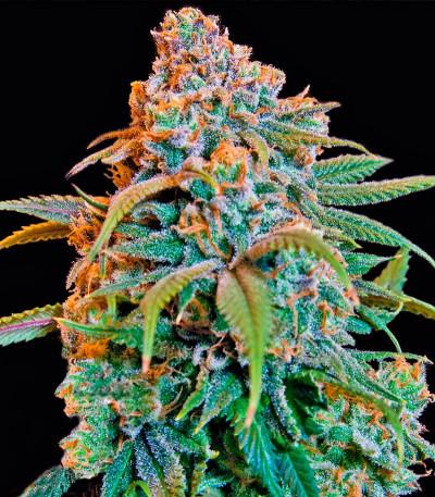 Сорт марихуаны Liberty Haze