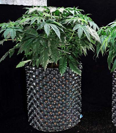 HulkBerry fem (Royal Queen Seeds) семена конопли
