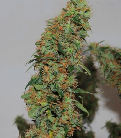 Orange Bud fem (Dutch Passion) семена конопли