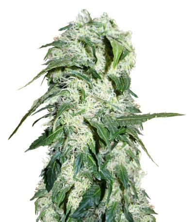 Himalaya Gold fem (Green House Seeds) семена конопли