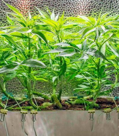 Sweet Soma fem (00 Seeds) семена конопли