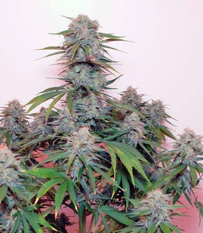 Семена марихуаны Tangie'matic auto