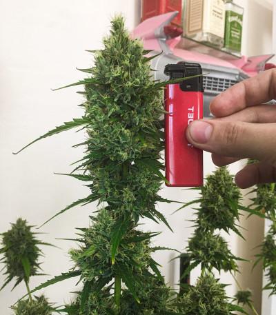 Gorilla Glue Auto fem (Glue auto) Fastbuds семена конопли