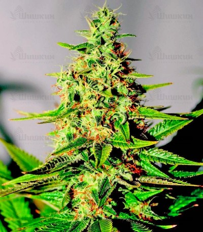 Сорт марихуаны Acapulco Gold