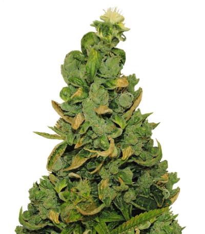 Купить семена марихуаны Pineapple Chunk