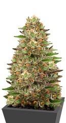 Купить сорт марихуаны Green Gelato fem