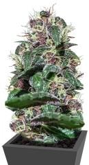 Ayahuasca Purple fem (Barney's Farm)