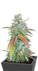 Bruce Banner Auto fem (Cali Buds Seeds)