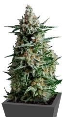 Anesthesia fem (Pyramid Seeds)