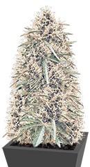 Northern Lights Auto Fem (Vision Seeds) семена конопли