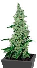 Y Griega fem (Medical Seeds)