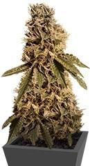 LSD fem семена конопли