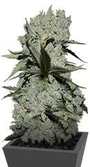 Купить семена конопли Critical Kush мини