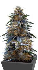 Tahoe Cure fem (Pyramid Seeds)