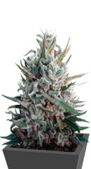 Eleven Roses от Delicious Seeds