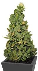 Купить семена конопли Pineapple Chunk мини