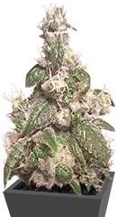 Купить семена каннабиса Acapulco Gold