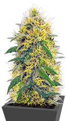 Big Bud fem (Vision Seeds)