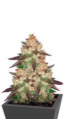 Black Cherry Punch fem (Pyramid Seeds)