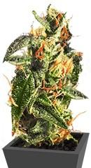 Diesel Glue (BCN Diesel) fem семена конопли