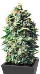 Pineapple Kush fem (RQS)