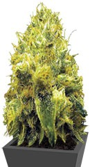 Blow Dream (Victory Seeds)