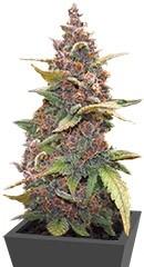 LSD-25 auto fem семена конопли