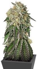 Amherst Sour Diesel fem семена конопли