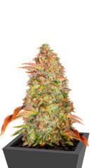 Zkittlez Auto fem (Cali Buds Seeds) семена конопли